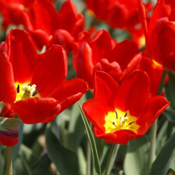 Tulipa 'Cramoisi Brilliant'