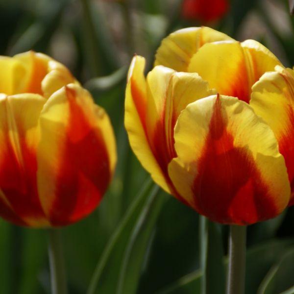 Tulipa 'Keizerskroon'