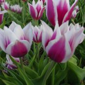 Tulipa 'Lac van Rijn'