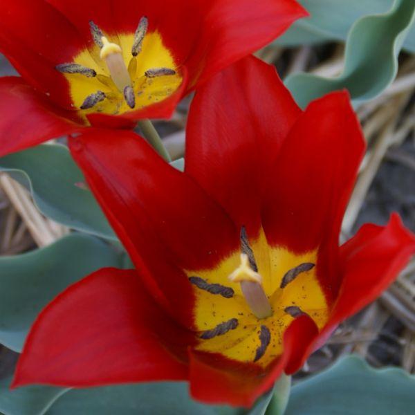 Tulipa 'Roi Cramoisi'