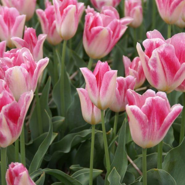 Tulipa 'Rosamunde Huykman'