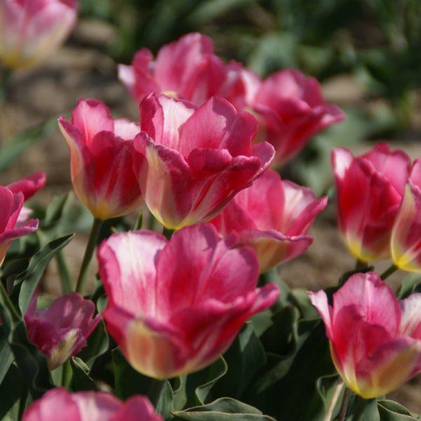 Tulipa 'Rose Gris de Lin'
