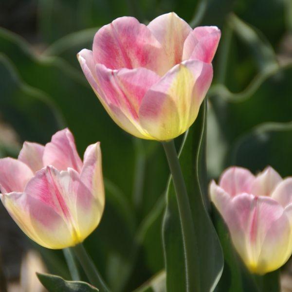 Tulipa 'Rose Luisante'