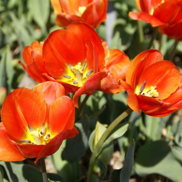 Tulipa 'Thomas Morus'