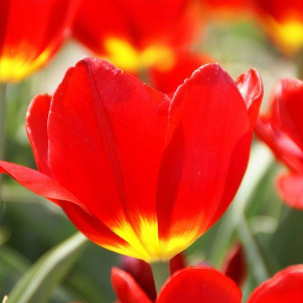 Tulipa 'Verboom'