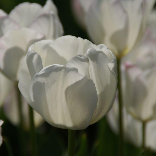Tulipa 'Victoria'