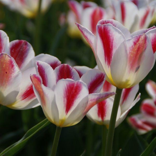 Tulipa 'Wapen van Leiden'