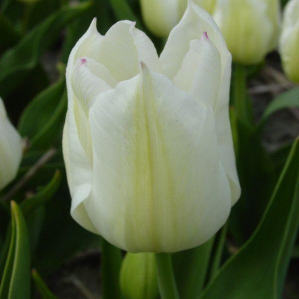 Tulipa 'White Hawk'