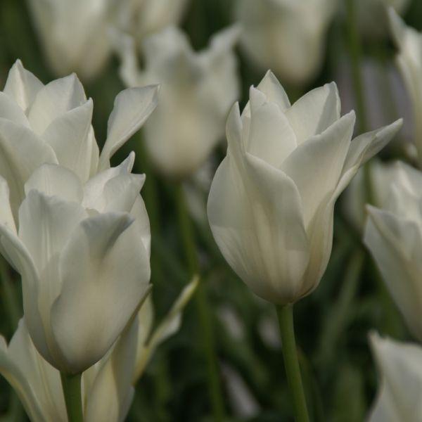 Tulipa alba regalis