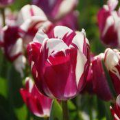 Tulipa 'Striped Sail'