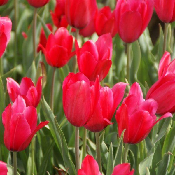 Tulipa gesneriana L 'Rosea'