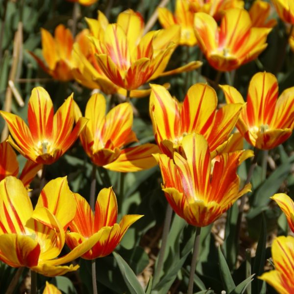 Tulipa 'Duc van Tol Aurora'