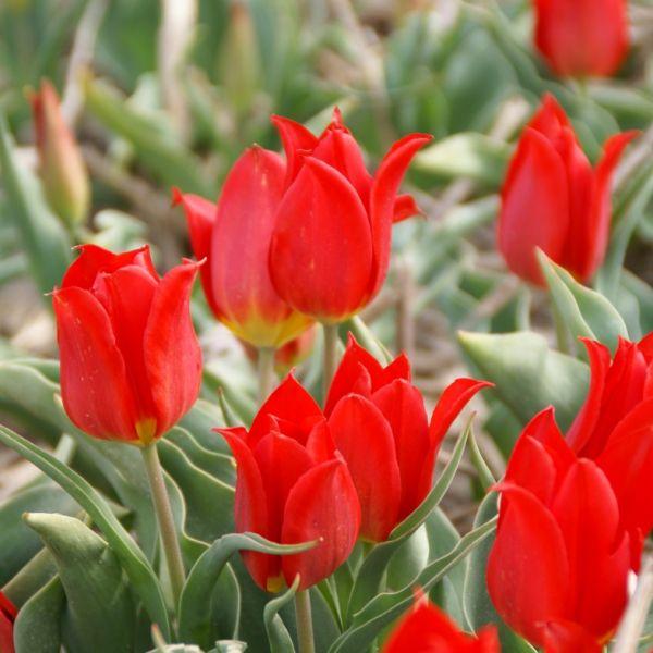 Tulipa 'Duc van Tol Cocchineal'