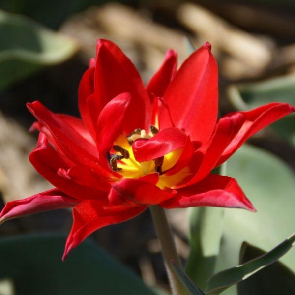 Tulipa 'Duc van Tol Double'
