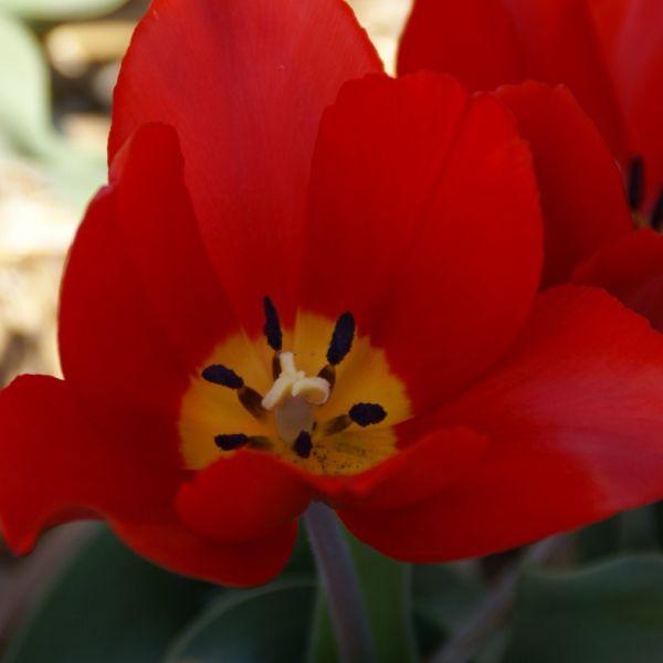 Tulipa 'Vermilion Briliant'