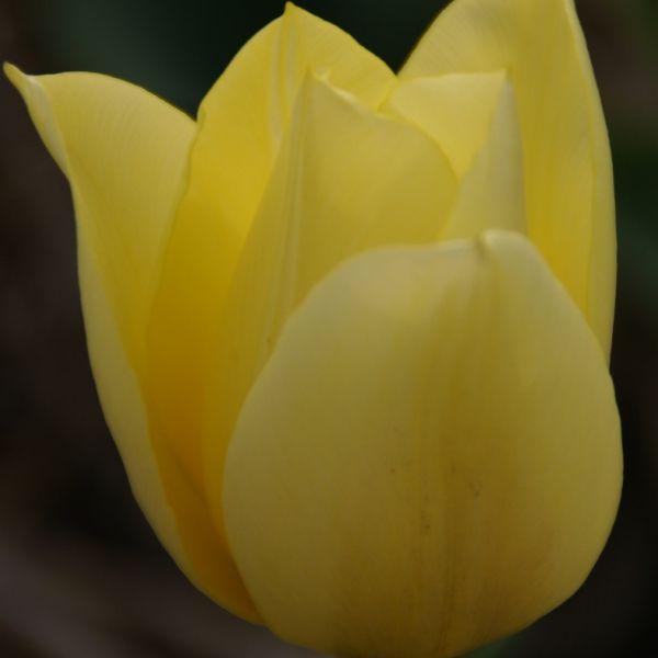 Tulipa 'Duc van Tol Primrose'