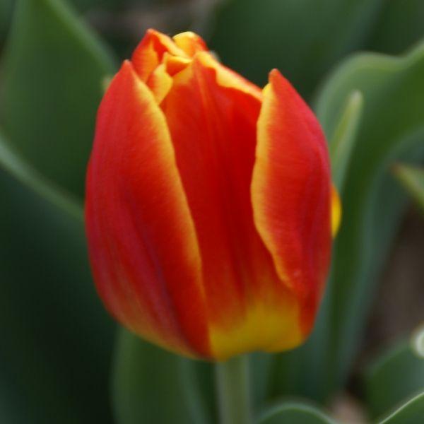 Tulipa 'Duc van Tol Salmon'
