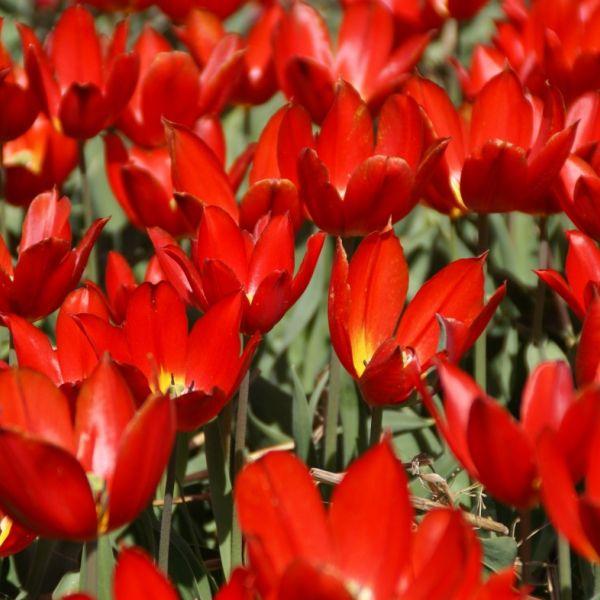 Tulipa 'Duc van Tol Scarlet'