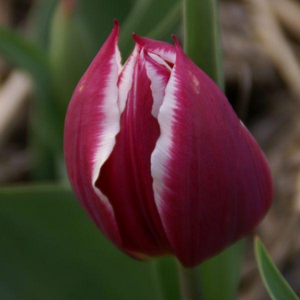 Tulipa 'Duc van Tol Violet'