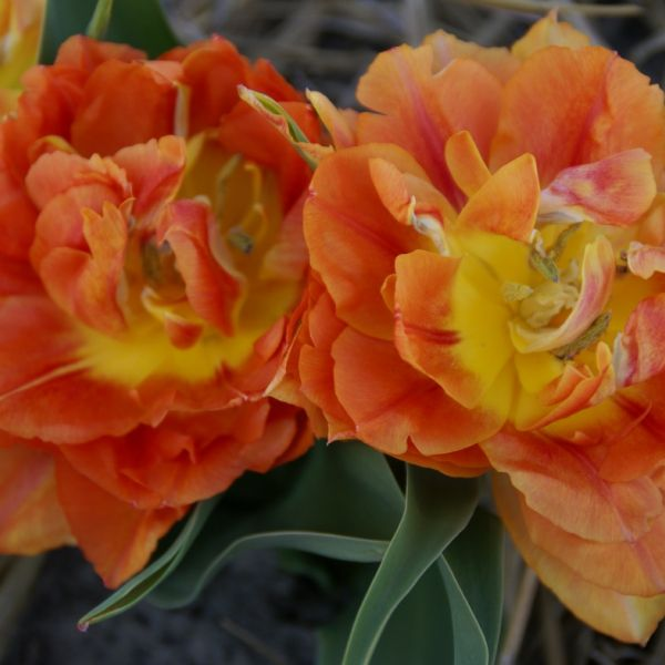 Tulipa 'Anthony Eden'