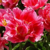 Tulipa 'Duchess of Kent'