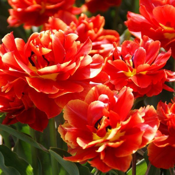 Tulipa 'Kroeskop'