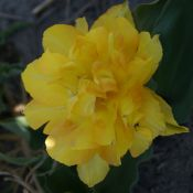 Tulipa 'Maréchal Niel'