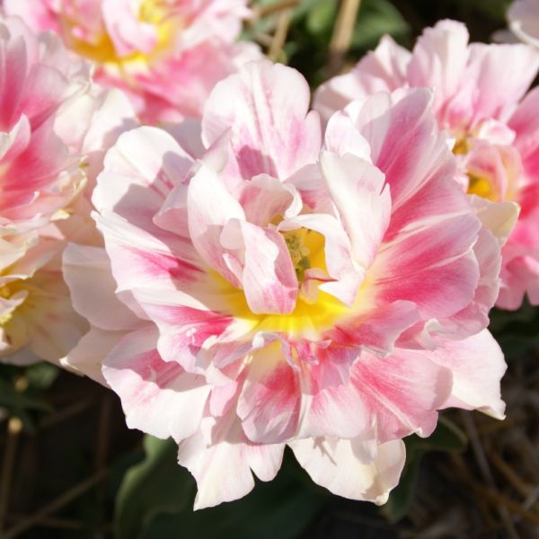 Tulipa 'Murillo Maxima'