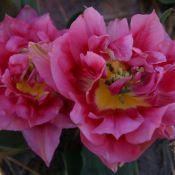 Tulipa 'Spinel'
