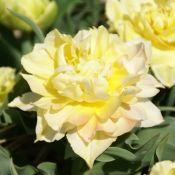 Tulipa 'Theeroos'