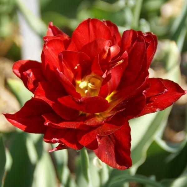Tulipa 'Paeony Red'