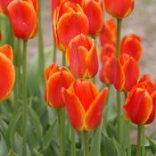 Tulipa 'Koningin Wilhelmina'