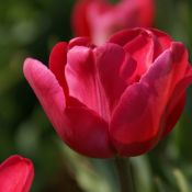 Tulipa 'Princess Amalia'