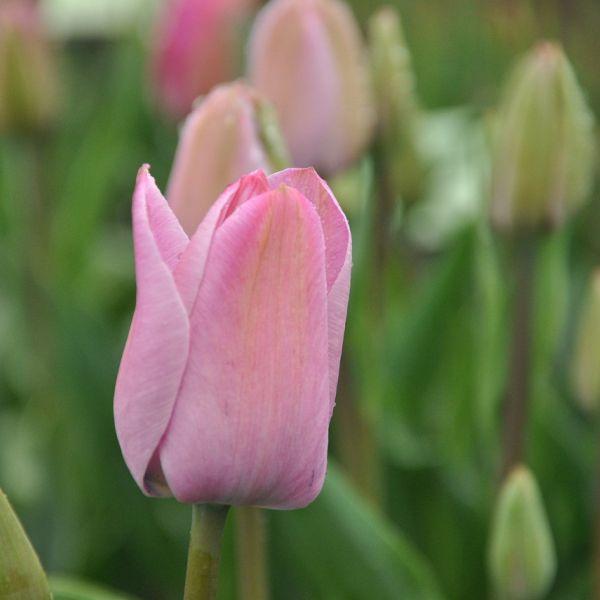 Tulipa 'La joyeuse'