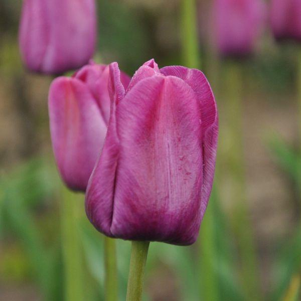 Tulipa 'Le Harpe'