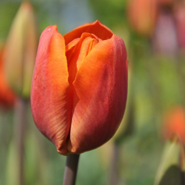Tulipa 'Orange Beauty'