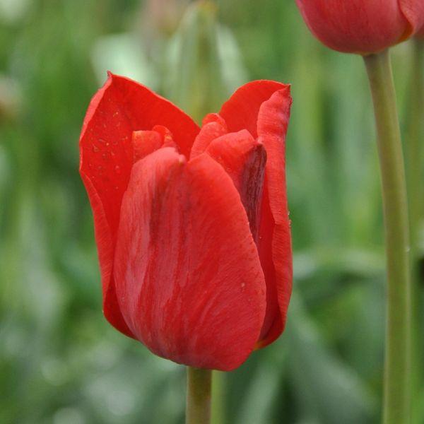 Tulipa 'Papago'