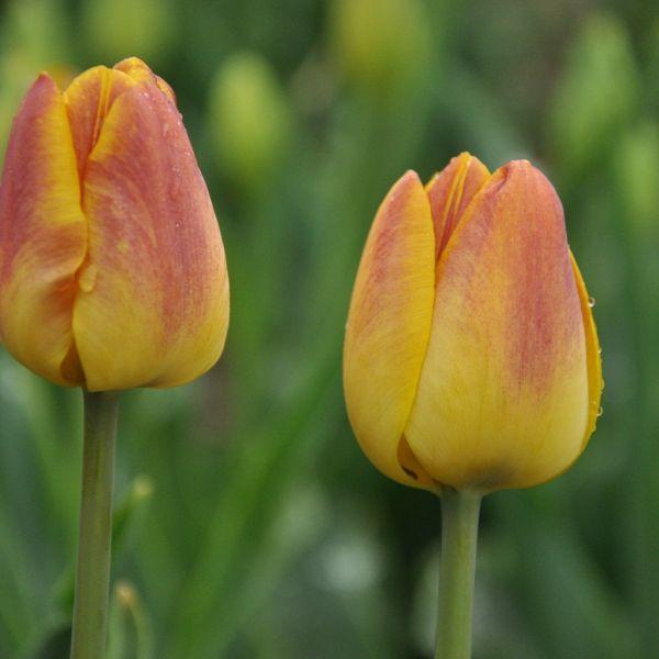 Tulipa 'Queen Alexandra'