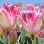 Tulipa 'Prosperity'