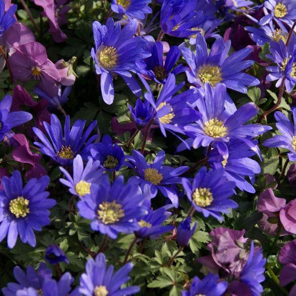 Anemone blanda 'Blue Shades' -grootverbruik-