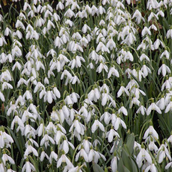 Galanthus nivalis -grootverbruik-