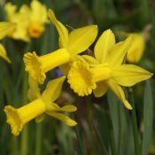 Narcissus 'Peeping Tom'