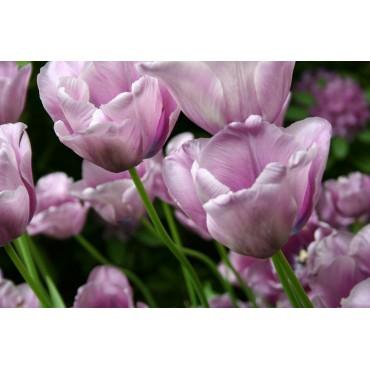 Tulipa 'Bleu Amaible'
