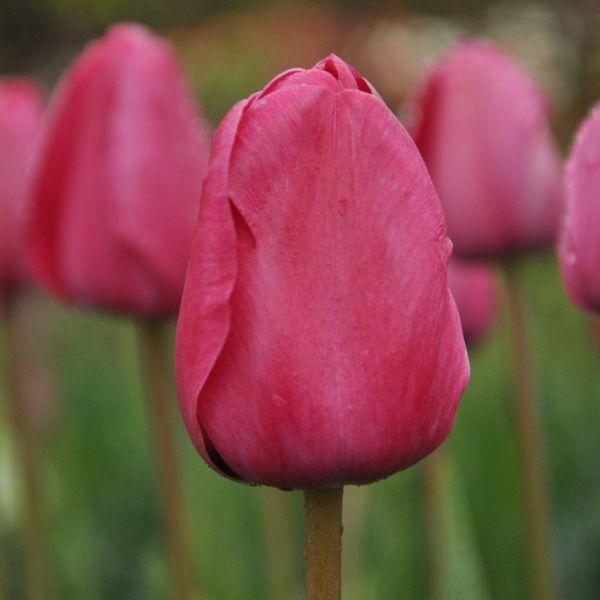 Tulipa 'Melva'
