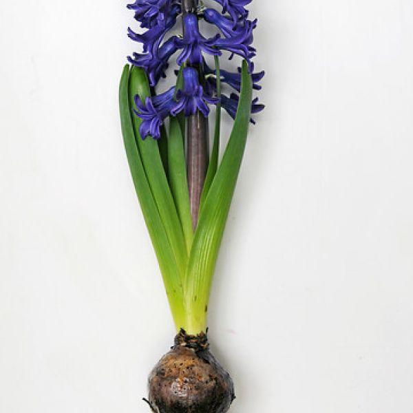 Geprepareerde hyacinten, blauw