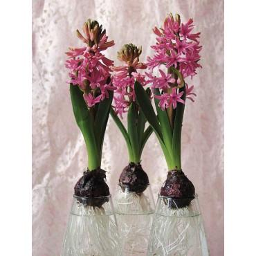 Geprepareerde hyacinten, roze