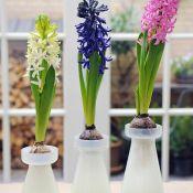 Geprepareerde hyacinten, wit, roze en blauw