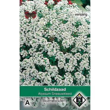 Alyssum maritimum 'Sneeuwkleed'