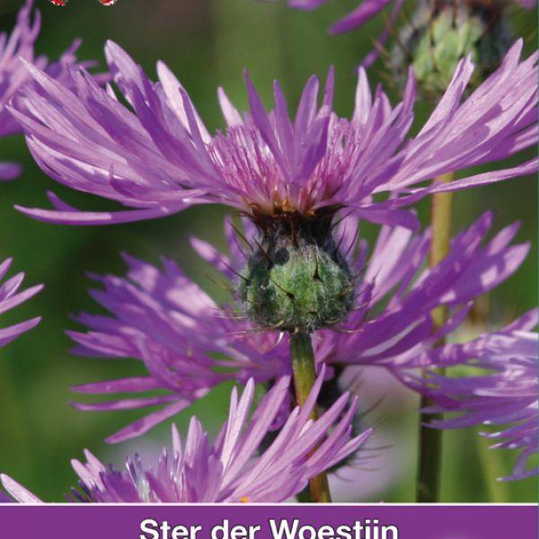 Amberboa muricata 'Desert Star'