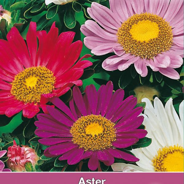 Aster chinensis 'Surpresso'